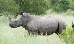 В лаборатории создали первые эмбрионы носорогов. Они помогут спасти почти вымершие виды