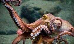 Видео: ученые обнаружили крупнейшее в мире скопление осьминогов