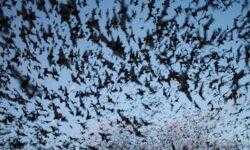 Кровавый поцелуй: вазорелаксационные свойства слюны летучих мышей-вампиров