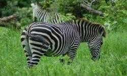 [Перевод] Полосы зебры это бесполетная зона для мошек