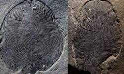 Ученые ошибались насчет внешнего вида одного из первых животных на Земле