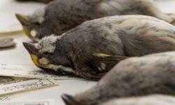 Как искусственное освещение зданий убивает перелетных птиц?