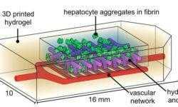 Американские учёные напечатали действующую модель лёгких и клетки печени