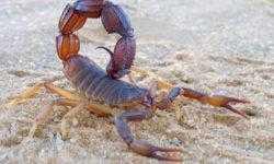 Как яд скорпиона помогает обнаружить рак головного мозга?