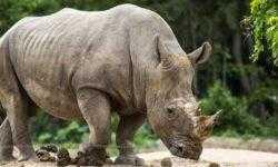 Последний самец суматранского носорога умер, но вид не вымер. Как такое может быть?