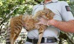 Открыт новый вид кошек с развитой мускулатурой и ночным образом жизни