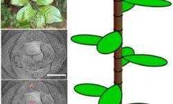 [Перевод] Математика листьев: как один необычный куст изменил уравнение модели роста растений
