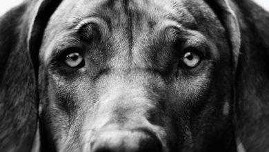 Фото «Щенячьи глазки»: 30 000 лет коэволюции собаки и человека