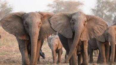Фото Индийские слоны начали собираться в «банды» и убивать людей