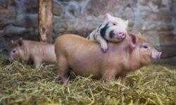 Создана искусственная свинина. Еще одна победа пищевой промышленности