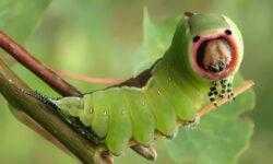 Как слепые гусеницы могут различать цвета?