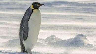 Фото В Новой Зеландии нашли останки пингвина ростом с человека