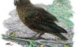 В Новой Зеландии обнаружены останки самого большого попугая в истории