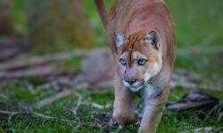 Вымирающие пантеры внезапно разучились ходить. Что с ними происходит?