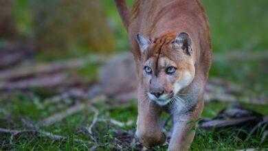 Фото Вымирающие пантеры внезапно разучились ходить. Что с ними происходит?