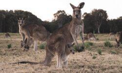 Как выглядели кенгуру, населявшие Австралию тысячи лет назад?