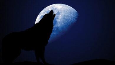 Фото Почему волки воют на Луну?