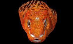 В Индонезии живут «драконы» и под их кожей есть слой брони