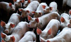 Восстановлена активность мозга у 32 мертвых свиней