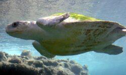 #видео | Биологи впервые увидели самое крупное скопление морских черепах