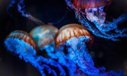 Ученые научились управлять движениями медуз. Но зачем это нужно?