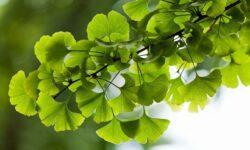 Вид бессмертных деревьев может страдать от стресса