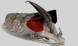 Зачем ученые надели на каракатицу 3D-очки?