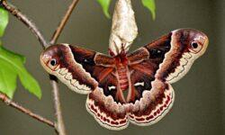 Бабочки научились скрываться от летучих мышей, используя «звуковой камуфляж»