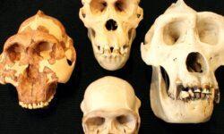 Интеллект предков человека нельзя оценивать по размеру черепа