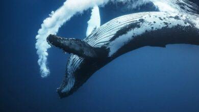 Фото Как киты меняют старую кожу на новую?