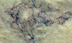 Найдены окаменелости одних из самых древних водорослей, возрастом более одного миллиарда лет
