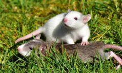 Ученые выяснили, что крысы способны к взаимовыручке