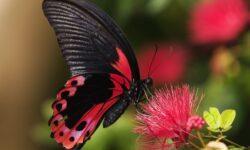 Крылья, поглощающие свет: секрет сверхчерных бабочек