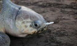 Почему черепахи едят пластиковый мусор?
