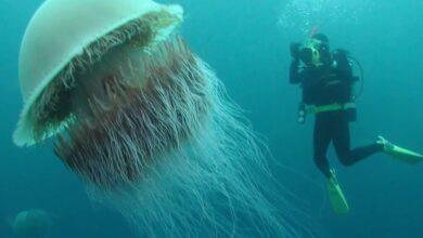 Фото Как выглядит самая большая медуза и чем она опасна?