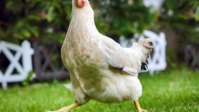 Фото Когда курицы стали домашними животными?