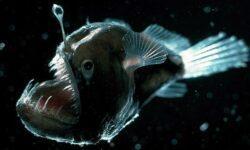 Как, а главное зачем: две страшные рыбы могут стать одним целым