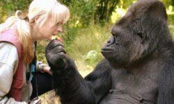 Между гориллами и людьми найдена еще одна общая черта