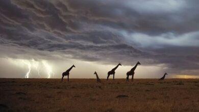 Фото Как часто по высоким жирафам бьют молнии?