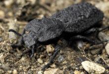 Фото Этого жука не может раздавить даже машина. В чем его секрет?