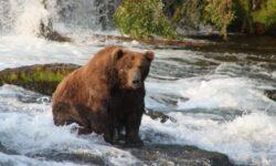 Как выглядит самый толстый медведь?
