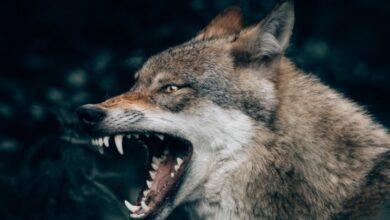 Фото Можно ли приручить волка?
