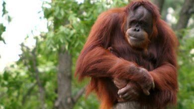 Фото Как общаются самые умные обезьяны в мире?