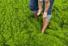 Фото Ядовитые водоросли: какими они бывают и чем опасны?